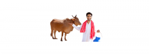 Treatment of Infertility in cow