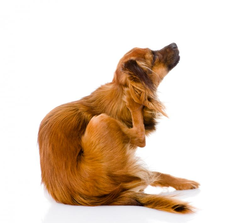 Homeopathic remedy for Dog Skin Problem