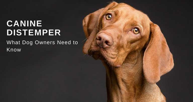 Canine Distemper FAQs