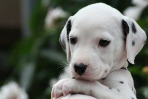 Homeopathy for Canine Distemper