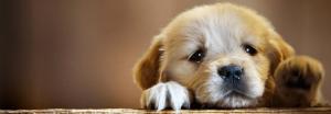 Pet Fever remedy