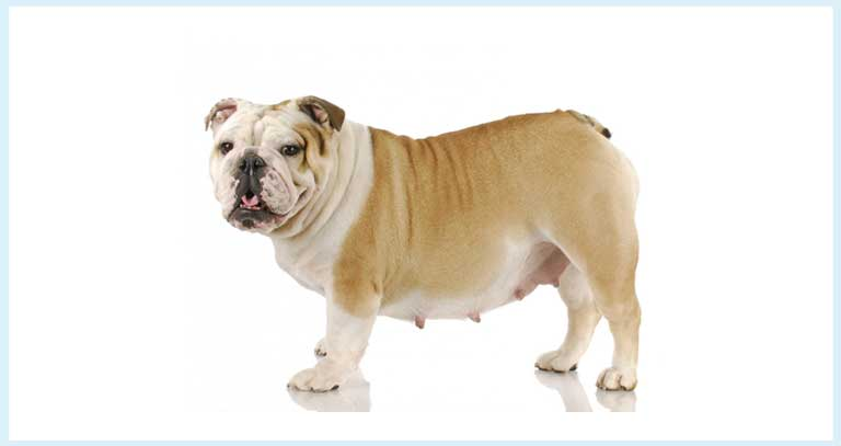 Pyometra- An Infection Of Uterus, A Serious Concern And Homeopathic Remedy For Pets