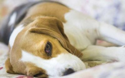 Homeopathic Veterinary Medicines For Abdominal Discomfort In Pets