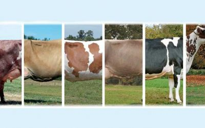 Bovine Mastitis And Homeopathic Veterinary Medicine